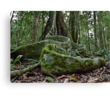 Booyong Tree,Lamington NP,Australia Canvas Print