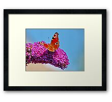 Peacock Butterfly Framed Print