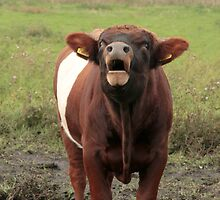 Dutch Belted Bull by Robert Abraham