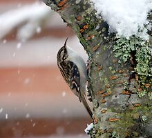 Tree Creeper by billsimages