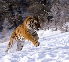 Siberian Tiger 5 by mrshutterbug