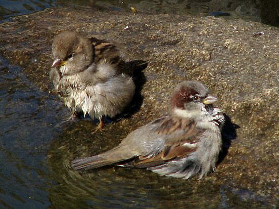 Bathing Baby Barn Sparrows by swaby