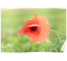 Single Poppy Poster