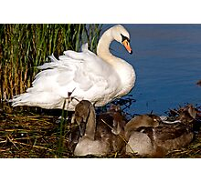 Cygnets Napping Photographic Print