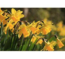 Yellow Spring Daffodils Photographic Print