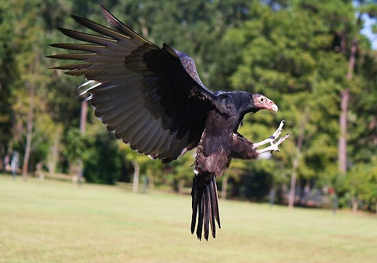 Turkey Vulture Landing by Paulette1021