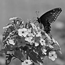 Spicebush Swallowtail by Sandy Keeton