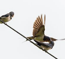 Swallow feeding it's young by Andrew Jones
