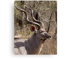 Impressive Kudu Male Canvas Print