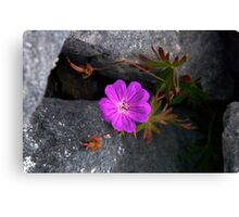 Bloody Cranesbill, Dun Aengus, Inishmore Canvas Print