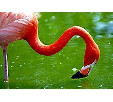 Flamingo Ripples Photographic Print