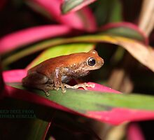 Red skinned frog by robmac