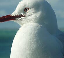 Seagull - Robe, South Australia by Dan & Emma Monceaux