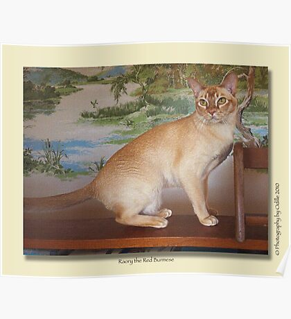 cat calendar #6 Roary the Red Burmese  Poster