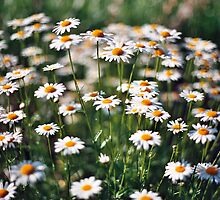The Daisies by MarshalF