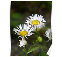 White aster after a rainstorm. Poster