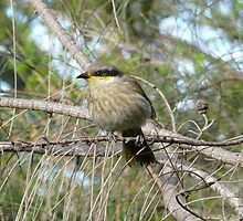 Singing Honeyeater in a Drooping She-oak by Catherine McIver