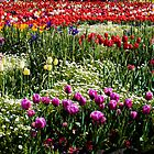 Field of mainly Tulips  by ronsphotos