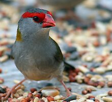 Red-browed Finch by Neil Swenser