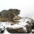 Snow Leopard 3 by mrshutterbug