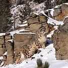 Snow Leopard 4 by mrshutterbug