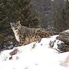 Snow Leopard 5 by mrshutterbug