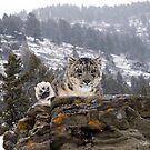 Snow Leopard 8 by mrshutterbug