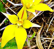 Cow slip orchid, aladenia flava by Julia Harwood