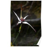 Exotic spider orchid, Caladenia novalis Poster