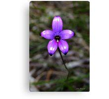 Purple enamel orchid, Elythanthera brunonis Canvas Print