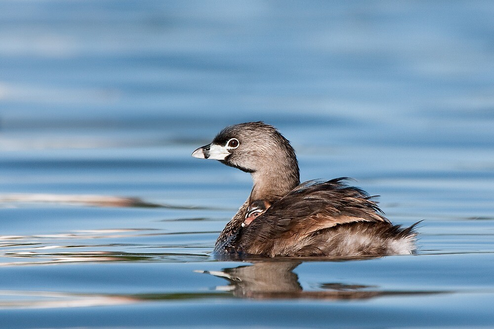 Pied-billed Grebe + chick. by Daniel Cadieux