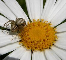 Tiny Spider on a Daisy,Tumut,NSW,Australia. by kaysharp