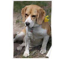 Daffodil Doggy Poster
