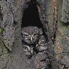 3 little little owls by Grandalf