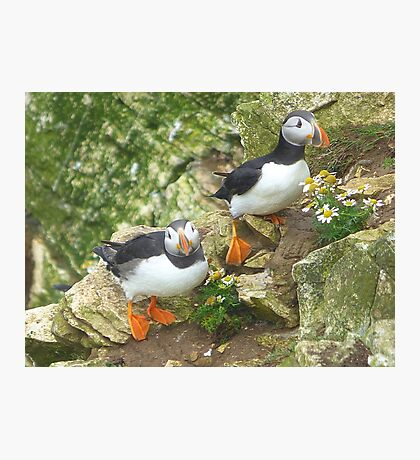 Puffins on Bempton Cliffs. Photographic Print