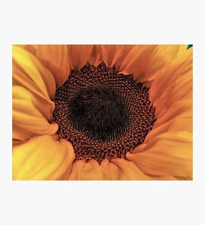Sunflower - Macro Close Up Photographic Print