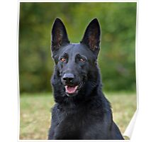 Black German Shepherd Poster
