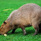 Capybara grazing on the lawn by Dfilyagin