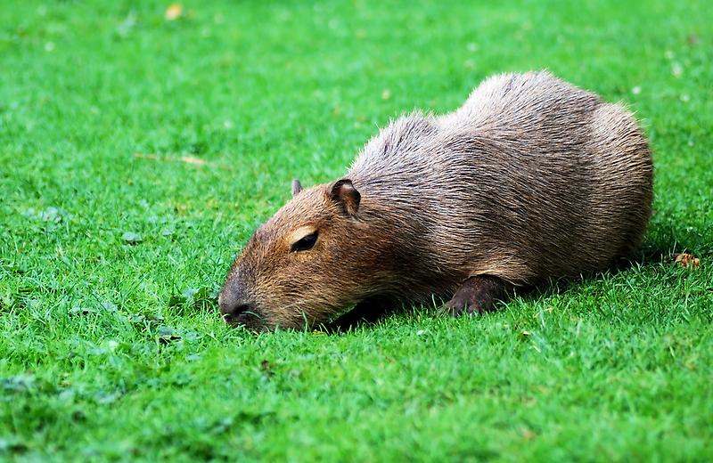Capybara grazing on the lawn by Dfilyagin