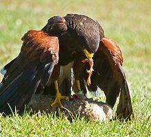 Hawk Feeding by imagetj
