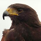 Harris Hawk by Stephen Kane