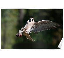 Hawk Grabs Foods In Flight Poster