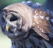 Wise Barred Owl by Paulette1021