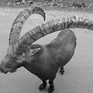 The Amazing Horns of the Alpine Ibex by Vicki Spindler (VHS Photography)