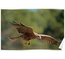 Hawk Picks Up Some Food Poster