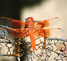 Dragonfly in Orange by Laurel Talabere