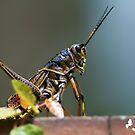 Grasshopper by TJ Baccari Photography