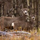 Mule Deer Two-Fer by EchoNorth