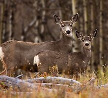 Mule Deer Two-Fer by EchoNorth
