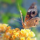 Buckeye Butterfly by Dave & Trena Puckett